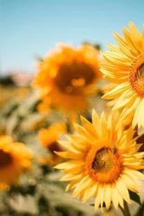 唯美暖色系向日葵